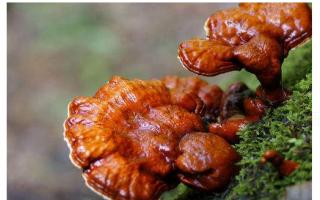 服用灵芝孢子粉的副作用?长期吃灵芝孢子粉有危险吗?